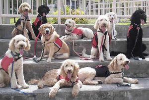 Labradoodle_Assistance_Dogs